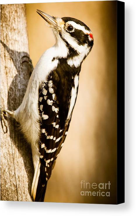 Canvas Print featuring the photograph Hairy Woodpecker by Cheryl Baxter