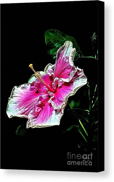 Flower Canvas Print featuring the photograph Hibiscus On Black - Three by Peter Lessey