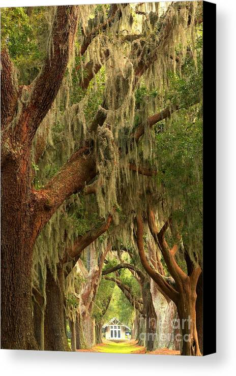 Avenue Of The Oaks Canvas Print featuring the photograph Plantation Oak Trees by Adam Jewell