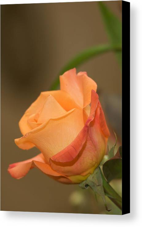 Flower Canvas Print featuring the photograph Rose by Karen Swartz Photography