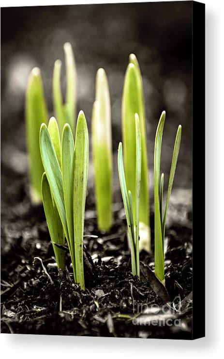 Spring Canvas Print featuring the photograph Spring Shoots by Elena Elisseeva