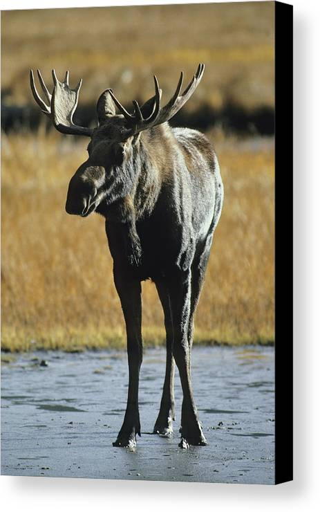 North America Canvas Print featuring the photograph A Young Bull Moose by George F. Herben