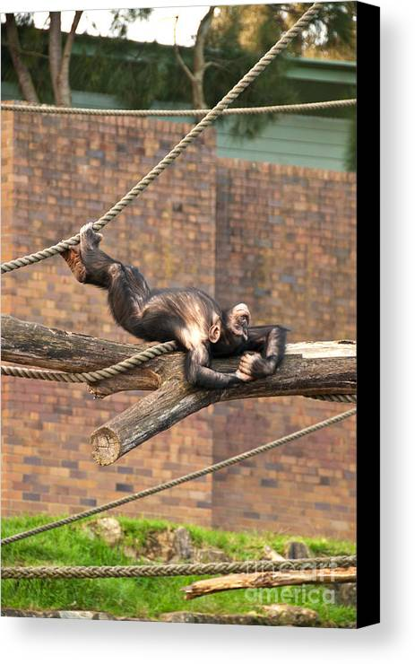 Photograph Canvas Print featuring the photograph Playing Chimp II by Bob and Nancy Kendrick