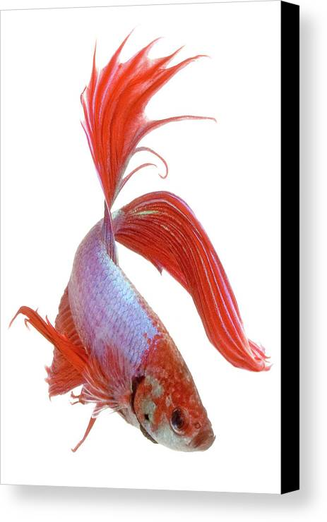 Vertical Canvas Print featuring the photograph Siamese Fighting Fish (betta Splendens), Close-up by George Diebold