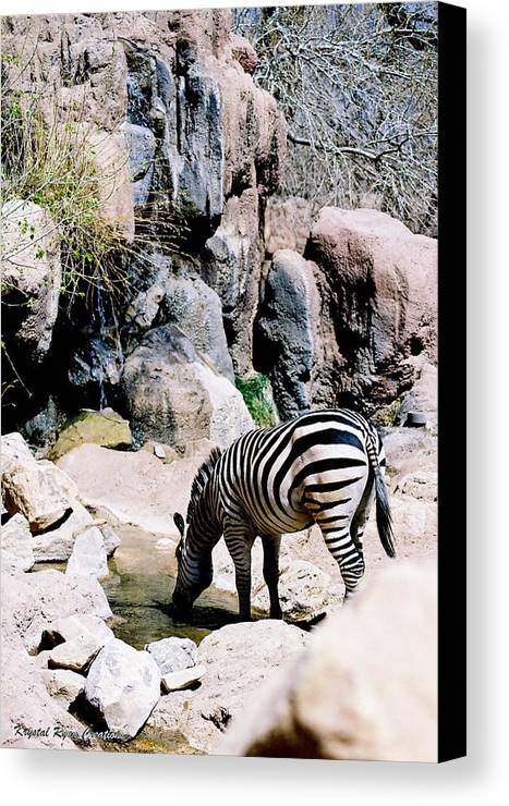 Zebra Canvas Print featuring the photograph Zebra At Water Hole by Laura Roberson Chavez