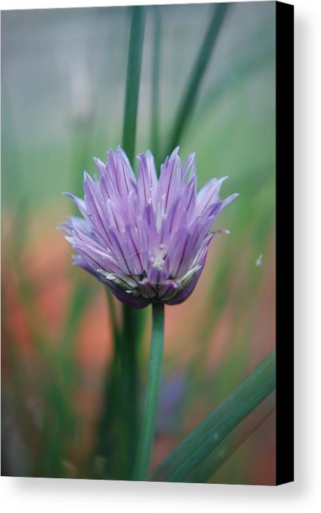 Flowers Canvas Print featuring the photograph Chive Flower by Lisa Gabrius