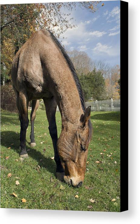 Horse Canvas Print featuring the photograph All Neck by Jack Goldberg