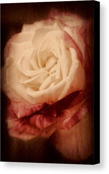 Roses Canvas Print featuring the photograph Antique Rose - In Full Bloom by Angie Tirado