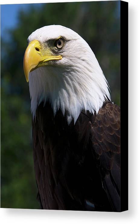 Skyhunter Canvas Print featuring the photograph Bald Eagle by JT Lewis
