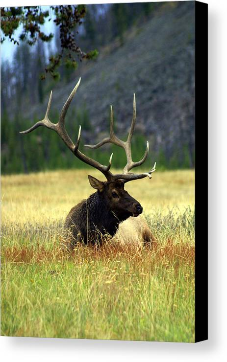 Canvas Print featuring the photograph Big Bull 2 by Marty Koch