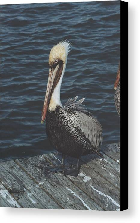 Bird Canvas Print featuring the photograph Brown Pelican On Pier by Wendell Baggett