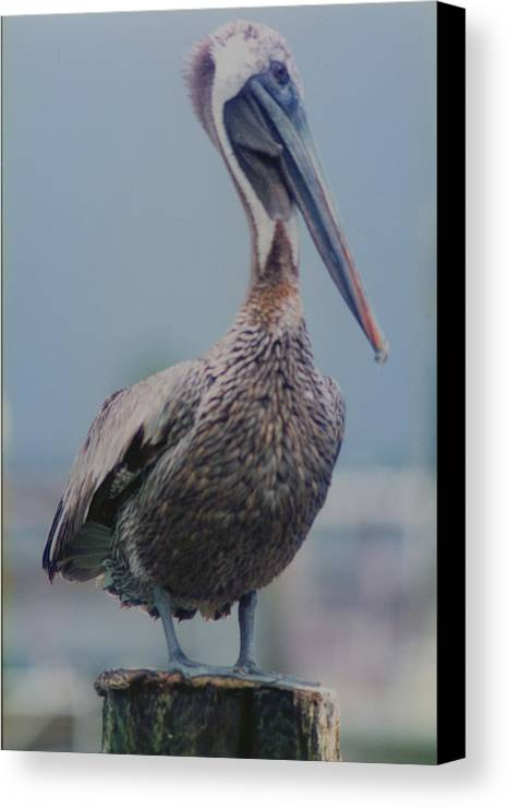 Pelican Canvas Print featuring the photograph Brown Pelican On The Dais by Ron Swonger