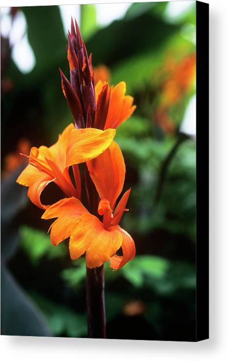 'roi Humbert' Canvas Print featuring the photograph Canna Lily 'roi Humbert' by Adrian Thomas
