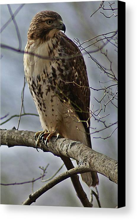 Cooper's Canvas Print featuring the photograph Cooper's Hawk 2 by Joe Faherty