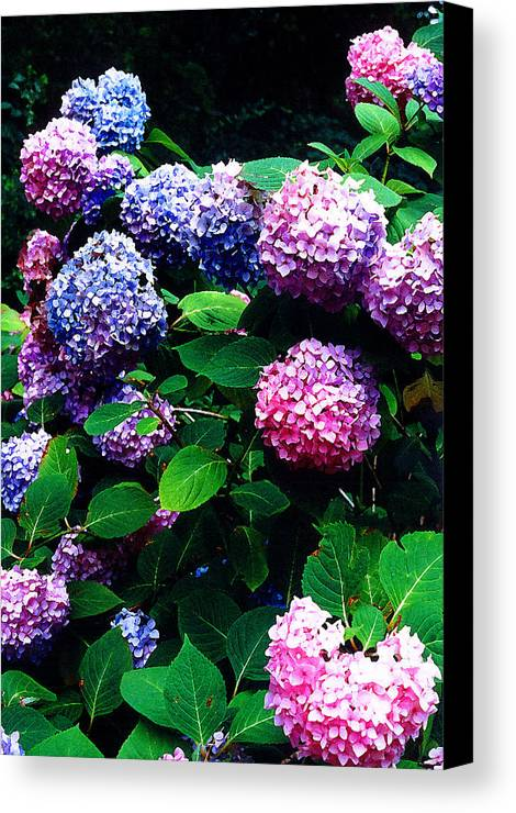 Flowers Canvas Print featuring the photograph Hydrangeas by Nancy Mueller