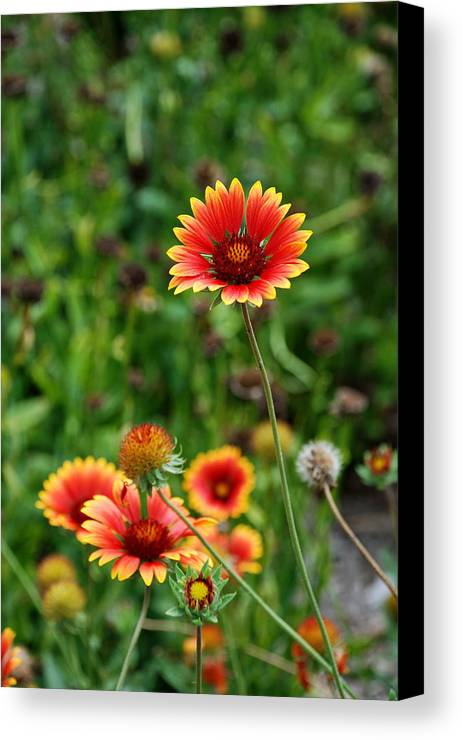 Indian Blanket Flower Canvas Print featuring the photograph Indian Blanket Flower by Francie Davis