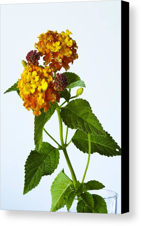 Lantana Canvas Print featuring the photograph Lantana by Harry H Hicklin