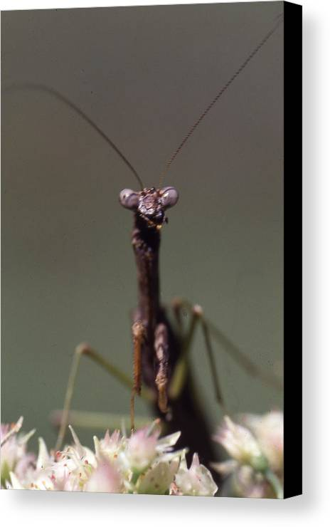 Canvas Print featuring the photograph Mantis Hello by Curtis J Neeley Jr