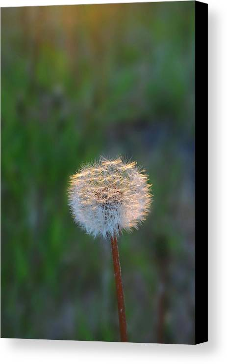 Dandelion Canvas Print featuring the photograph Morning Light by Marilynne Bull