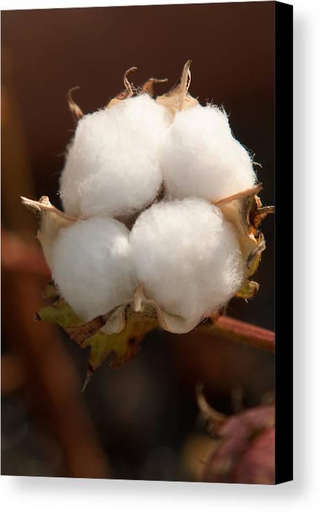 Cotton Canvas Print featuring the photograph Open Cotton Boll by Douglas Barnett