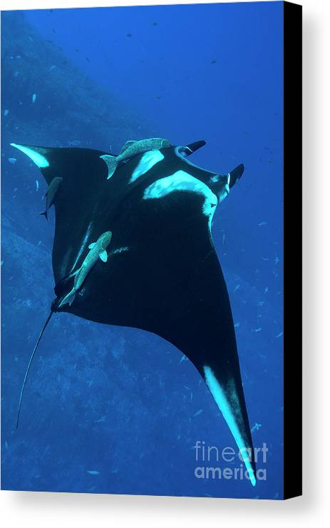 Giant Pacific Manta Ray Canvas Print featuring the photograph Pacific Giant by Aaron Whittemore