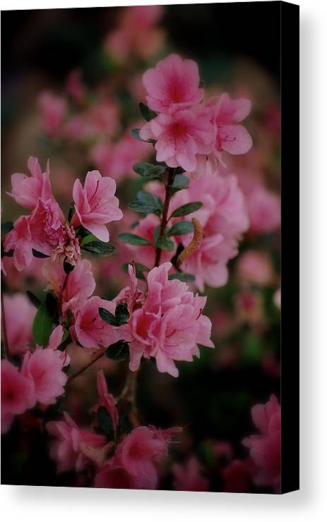 Azalea Canvas Print featuring the photograph Pretty In Pink by Trudi Southerland