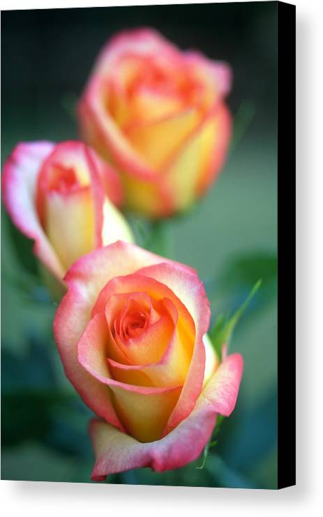 Florals Canvas Print featuring the photograph Rose Trio by Kathy Yates