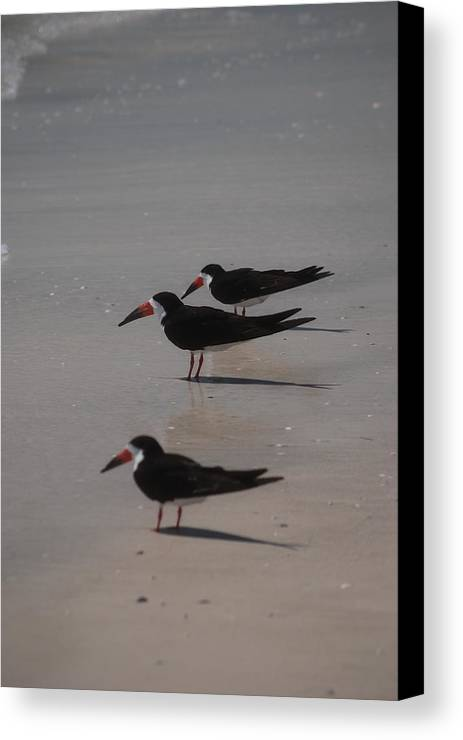 Landscape Canvas Print featuring the photograph Sea Birds by Lisa Gabrius