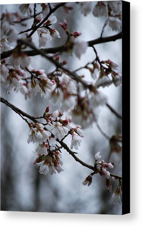 Blossoms Canvas Print featuring the photograph Spring Blosssoms by Trudi Southerland