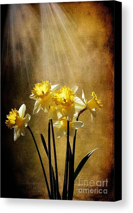 Daffodils Canvas Print featuring the photograph Spring Sun by Lois Bryan