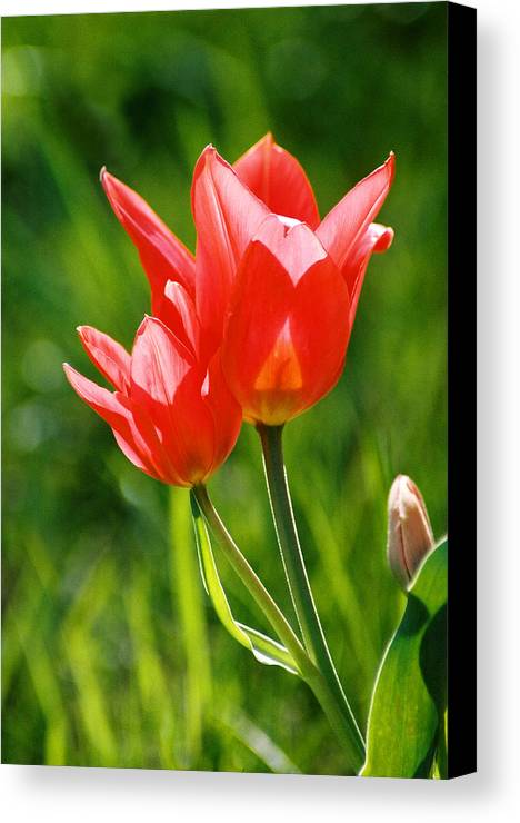 Flowers Canvas Print featuring the photograph Toronto Tulip by Steve Karol