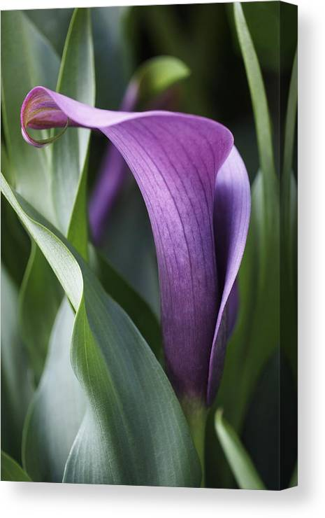 Lily Canvas Print featuring the photograph Calla Lily In Purple Ombre by Rona Black