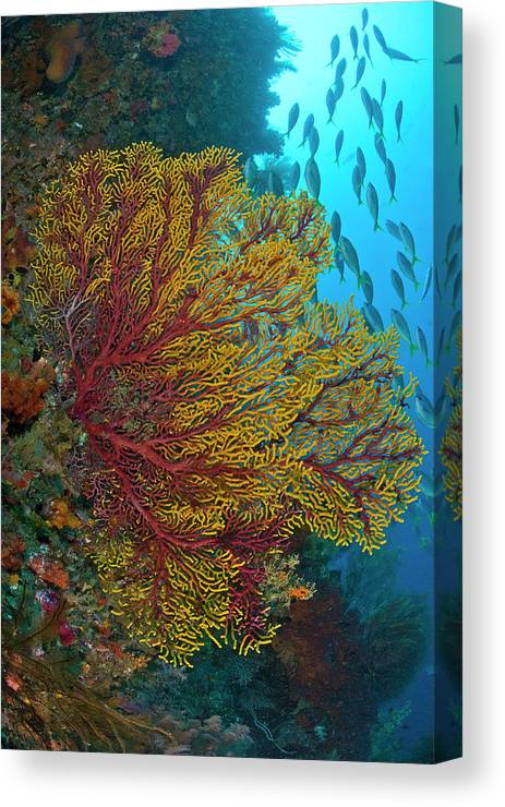 Animals In The Wild Canvas Print featuring the photograph Colorful Sea Fan Or Gorgonian Coral by Jaynes Gallery
