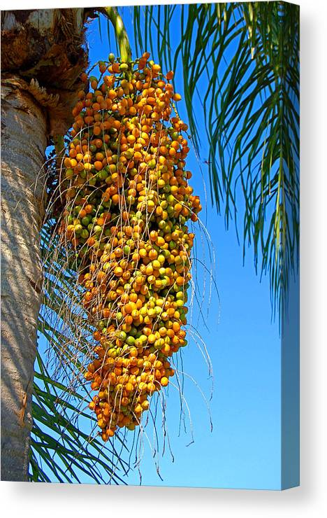 Palm Canvas Print featuring the photograph Fruit Of The Queen Palm by Donna Proctor