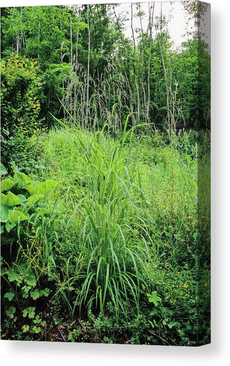 Bromus Ramosus Canvas Print featuring the photograph Hairy Brome (bromus Ramosus) by Bruno Petriglia/science Photo Library