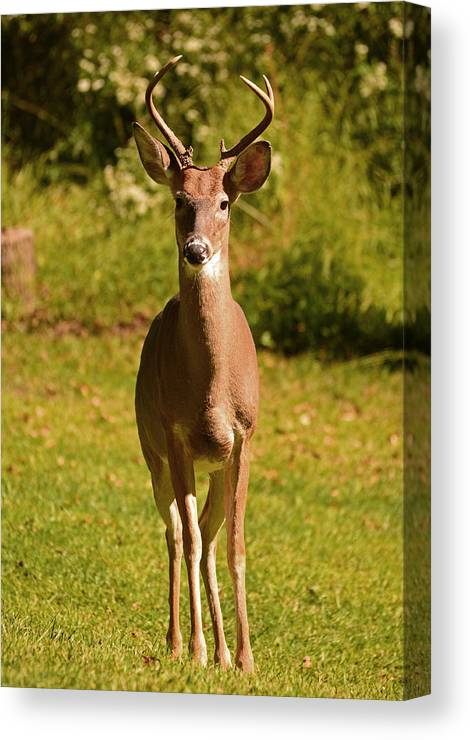 Deer Canvas Print featuring the photograph My Little Buddy by Lori Tambakis