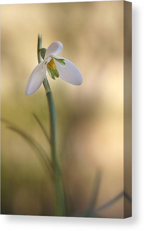 Flower Canvas Print featuring the photograph Spring Messenger by Annie Snel