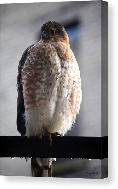 Canvas Print featuring the photograph 06 Falcon by Michael Frank Jr