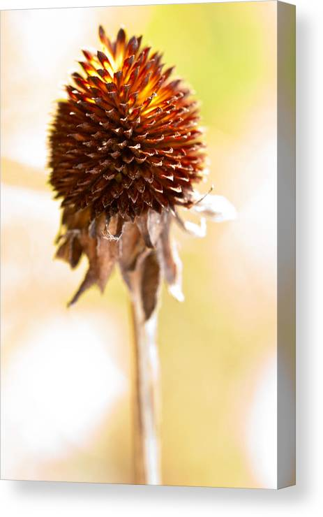Black-eyed Susan Canvas Print featuring the photograph Black-eyed Susan After The Winter by Onyonet Photo Studios