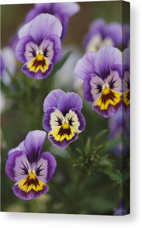 Plants Canvas Print featuring the photograph Close View Of Pansy Blossoms by Darlyne A. Murawski