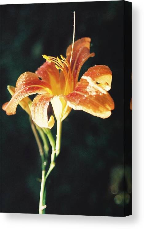 Daylily Canvas Print featuring the photograph Daylily After The Rain by Christopher Hignite
