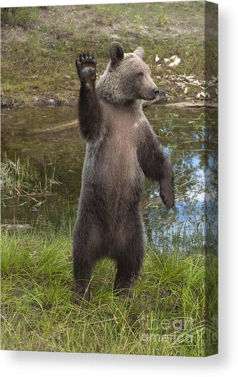 Bronstein Canvas Print featuring the photograph Grizzly Bear Cub by Sandra Bronstein
