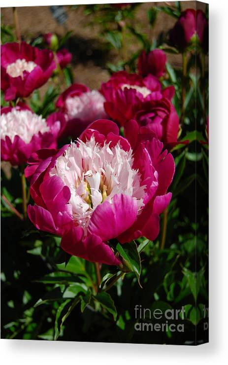 Red Peony Flower Canvas Print featuring the digital art Red Peony Flowers Series 4 by Eva Kaufman