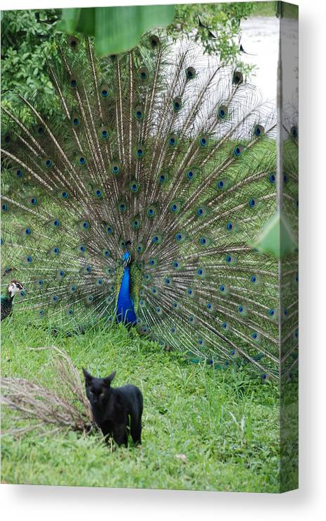 Animals Canvas Print featuring the photograph 2 Peacocks And A Black Pussy Cat by Rob Hans