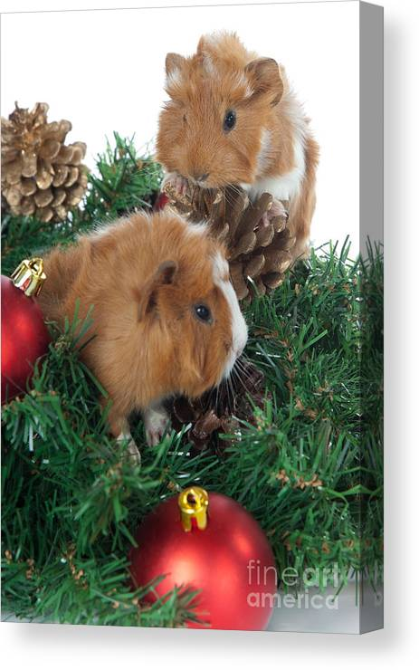 c244e7227 Abyssinian Guinea Pig For Christmas Canvas Print   Canvas Art by ...