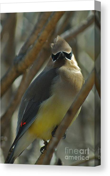 Cedar Waxwing Canvas Print featuring the photograph Attitude II by Michelle Hastings