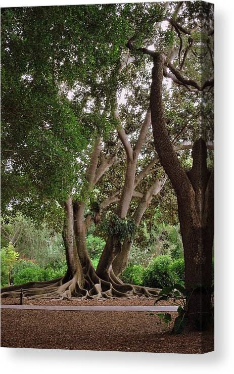 Banyon Trees Canvas Print featuring the photograph Bold Branches by Amanda Vouglas