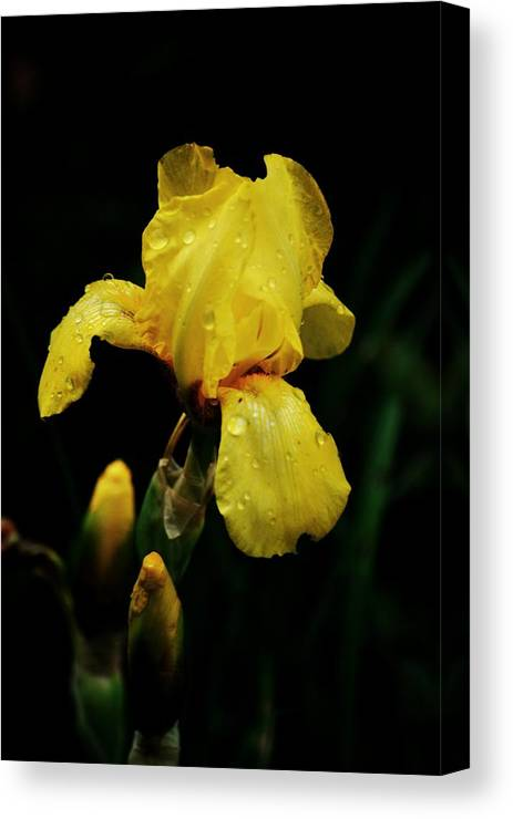 Nature Canvas Print featuring the photograph Dew Kissed by Trudi Southerland