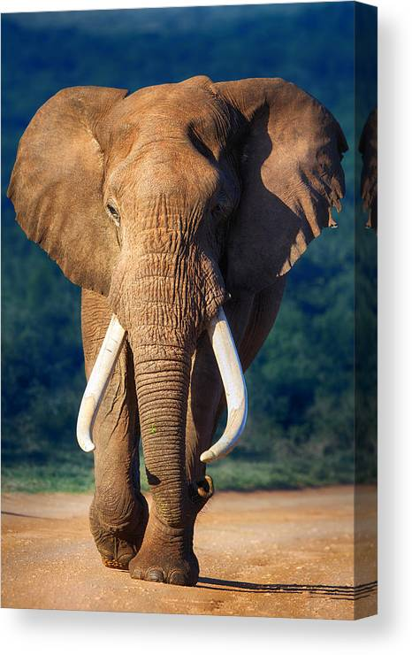 Elephant Canvas Print featuring the photograph Elephant Approaching by Johan Swanepoel