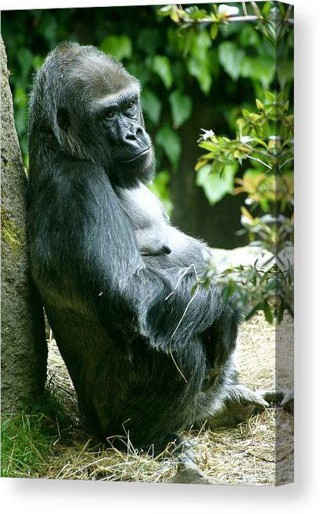 Animal Canvas Print featuring the photograph Posing Gorilla by Sonja Anderson